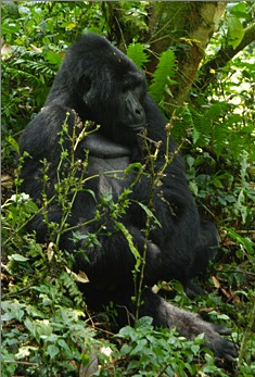Gorilla, Curt Fissel, Voices and Visions, Jem/Glo, Uganda, Video production
